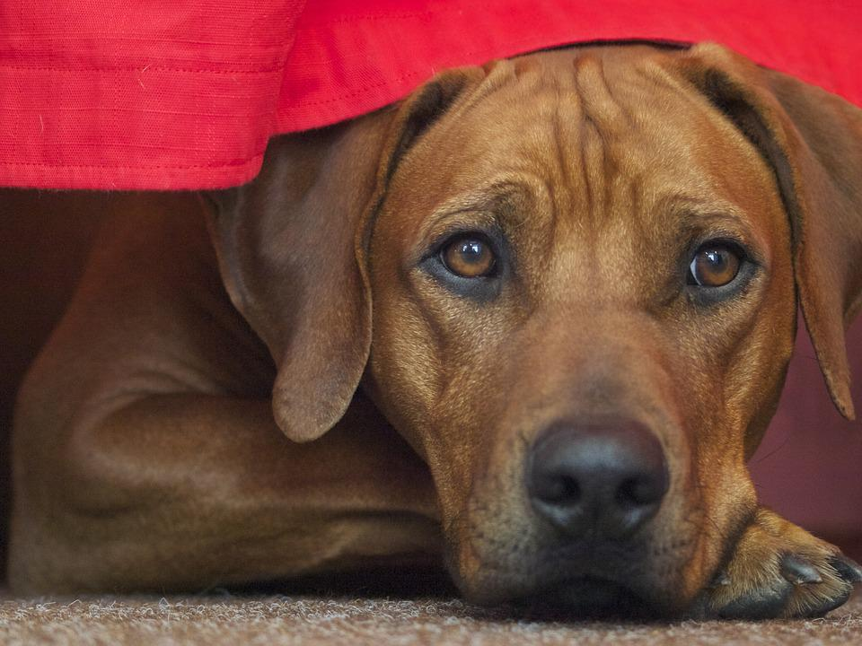 Rhodesian Ridgeback, Dog, Dog Breed, Brown, Race, Pet