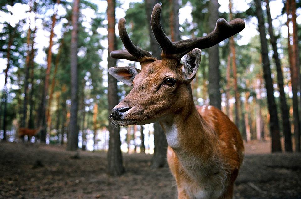 ハーシュ, フォレスト, 野生, ダマジカ, Paarhufer, 自然, 本物の鹿, エンクロージャ