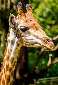 Giraffe, Zoo, Animals