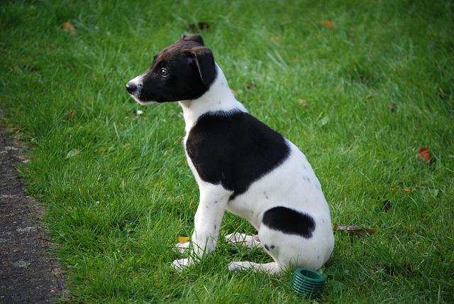 Lurcher Dog Puppy Terrier