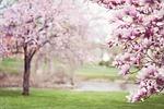 drzewa magnolii, springtime, kwiaty