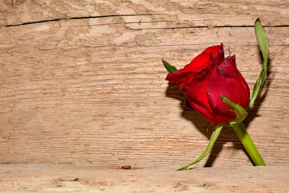 rose rot blume kostenloses foto auf pixabay. Black Bedroom Furniture Sets. Home Design Ideas