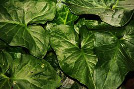 kostenloses foto aronstab arum pflanze flora kostenloses bild auf pixabay 8808. Black Bedroom Furniture Sets. Home Design Ideas