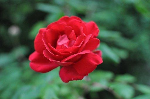 Rose, Rojo, Jardín