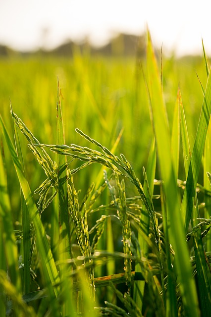 free photo  rice  field  farm  nature  plant