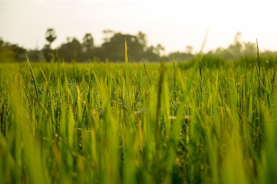 米, フィールド, ファーム, 自然, 植物, アジア, 農業, 緑, 食品, 農村, 風景, 田舎, 収穫