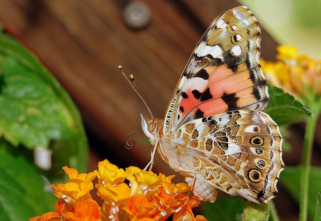 free photo  vanessa cardui  butterfly  insect