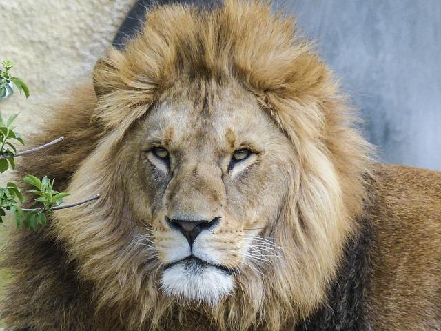 Free photo: Lion, Big ...