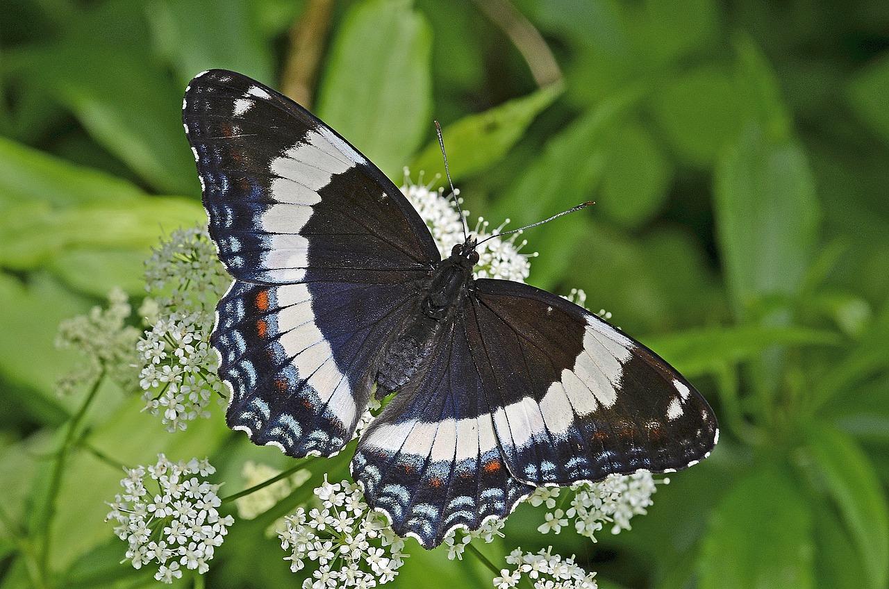 Бабочки адмирал картинки