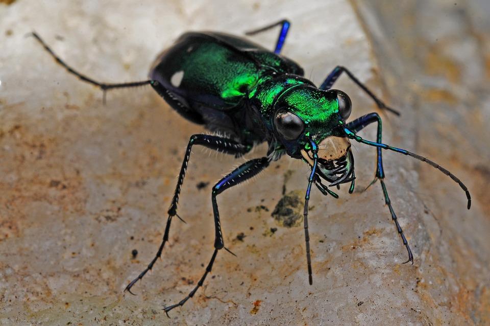 Macan Kumbang Serangga Makro Foto Gratis Di Pixabay