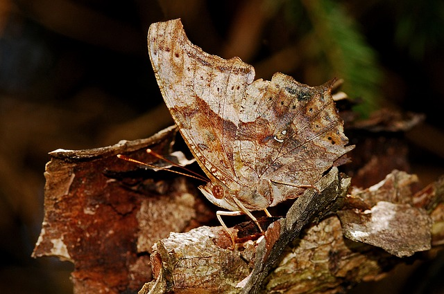 Butterfly Camouflage I...