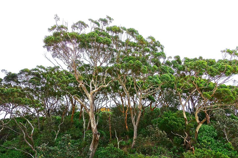 free photo trees gumtree eucalyptus free image on. Black Bedroom Furniture Sets. Home Design Ideas