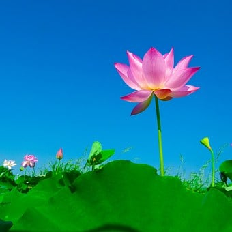 2000 Free Lotus Flower Lotus Images Pixabay