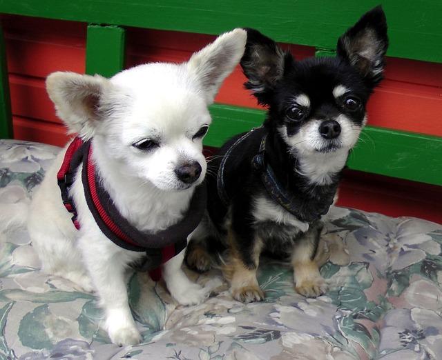 Free Photo Chihuahua Dog Couple Pets Black Free Image