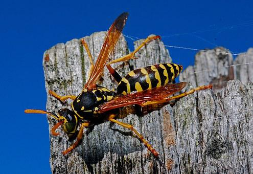 Wasp, Macro, Insect, Nature, Arthropod