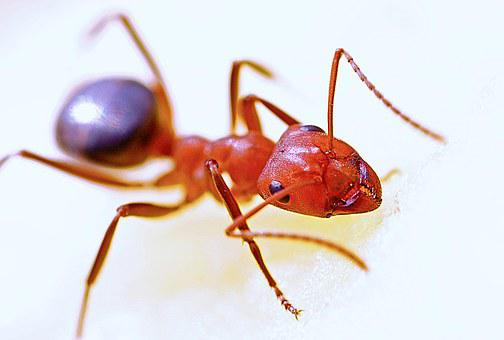 Ant, Macro, Insect, Red, Nature, Antenna