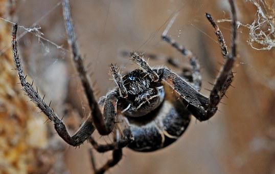 Spider, Arachnid, Macro, Insect, Nature