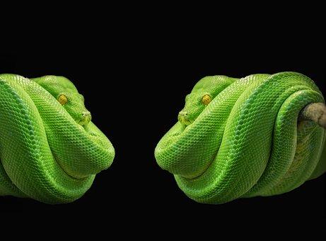 Python, Snake, Green Tree Python, Green
