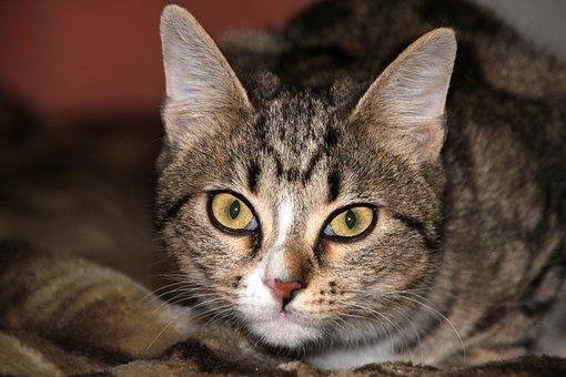 Animals, Cat, Closeup, Kitten, Striped