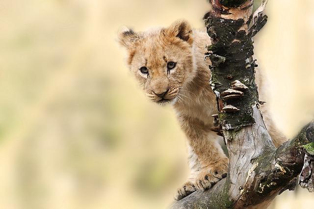 lion animal nature 183 free photo on pixabay