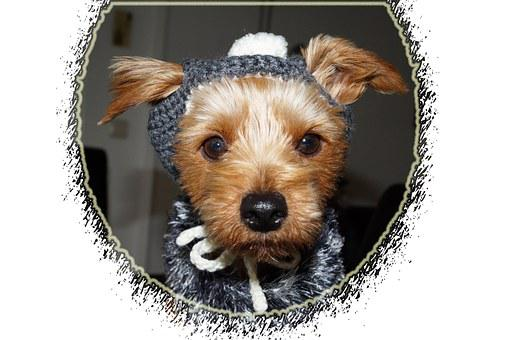 Dog, Clothing, Yorkshire Terriers