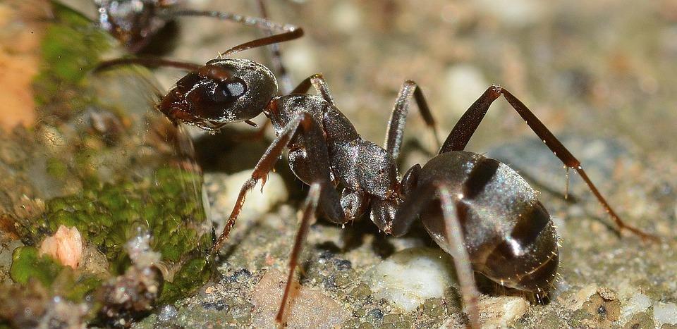 Insectos, Hormiga, Serviformica, Cunicularia