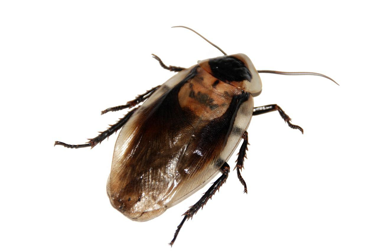 Even if you cut off a cockroach's head, it can live for several weeks.