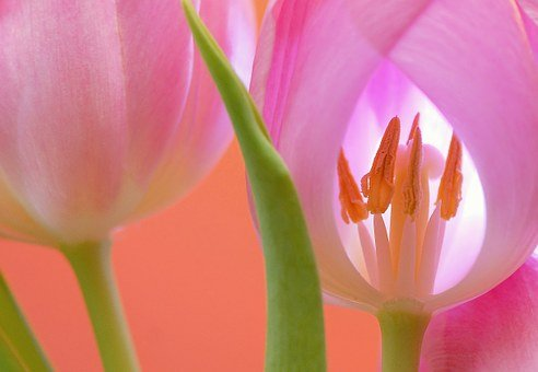 Tulip, Flower, Blossom, Bloom, Plant