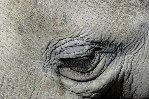 Tearing, Cry, Elephant, Eye, Nature