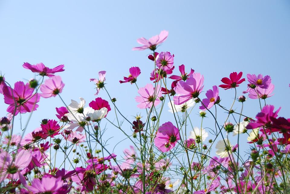 秋桜, ピンク, 空, フラワーズ