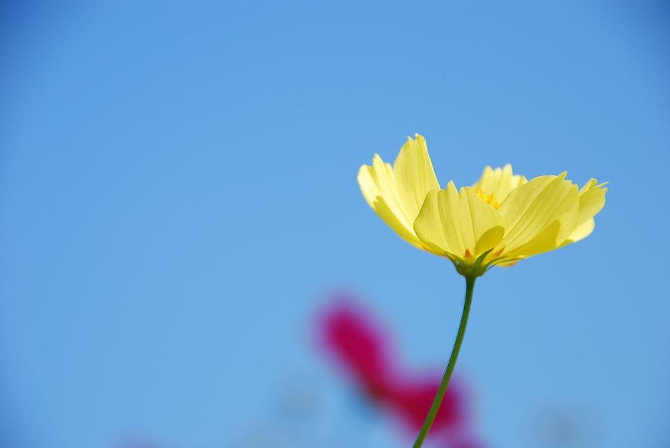 秋桜, 黄色, フラワー