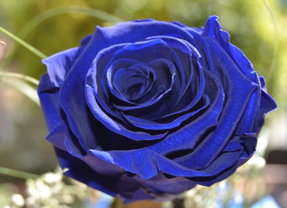 Rosa blu foto gratis su pixabay for Rosa pianta