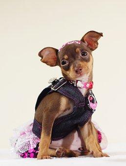 Dog, Pincher, Pet, Animal, Puppy