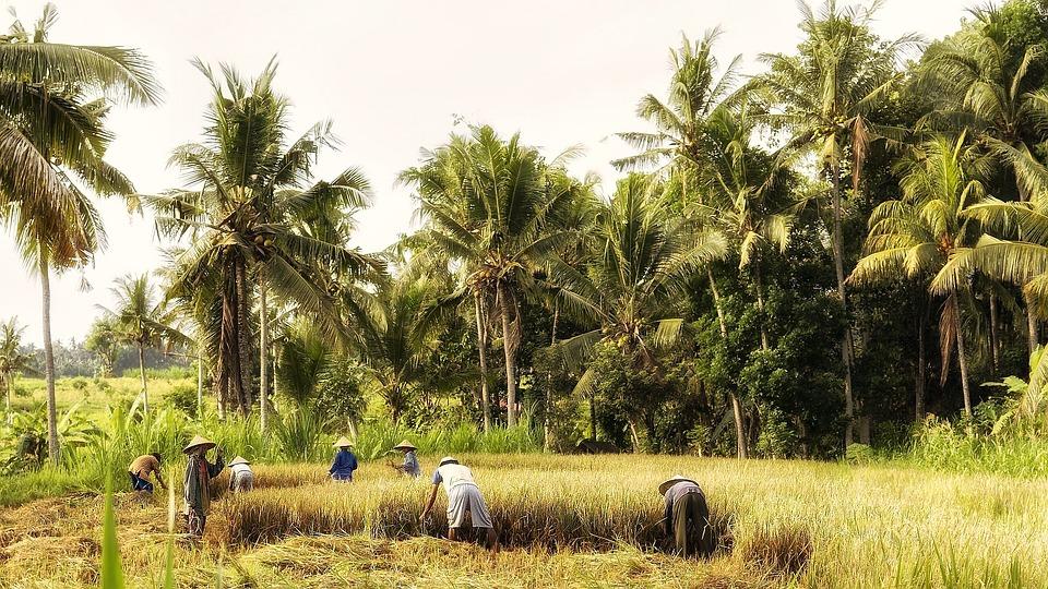 Indonésia, Bali, Trabalho De Campo, Colheita De Arroz
