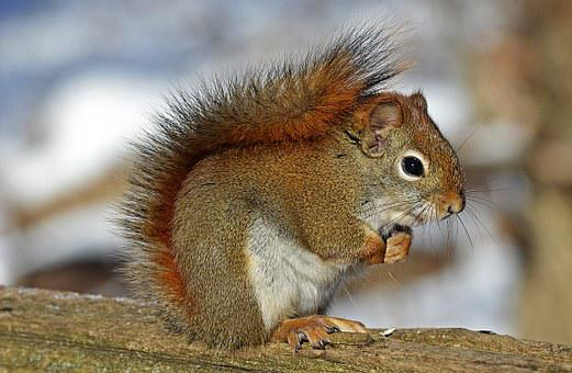Red Squirrel Rodent Nature Wildlife Animal