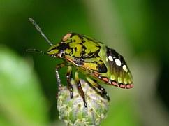 Hemiptera, Insects, Nezara