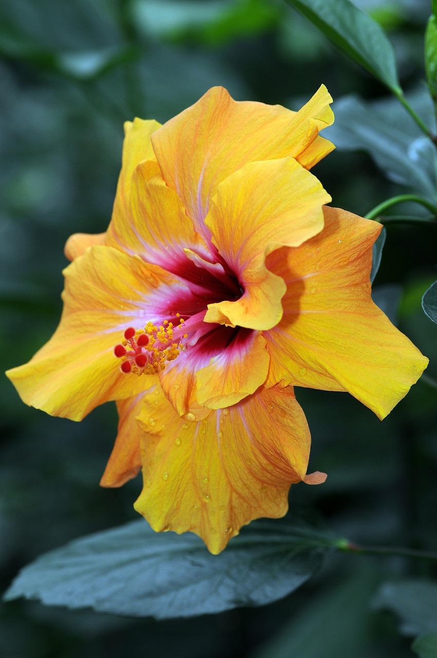 Фото желтая крупная хризантема в клумбе называли