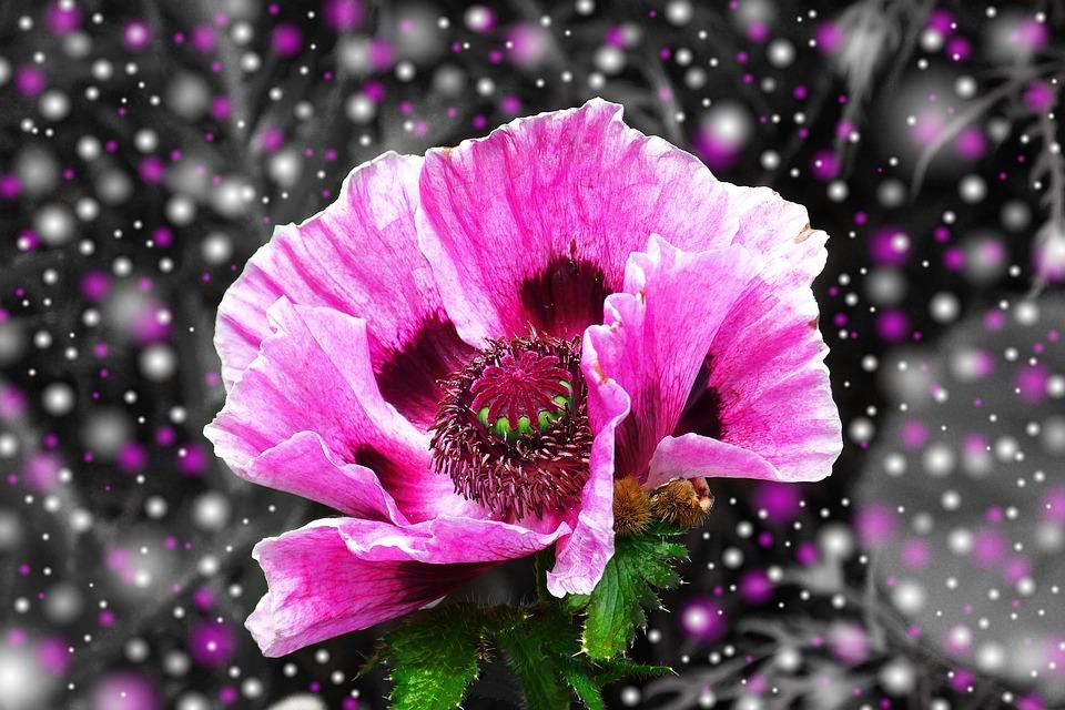 kostenloses foto mohn lila mohnblume bl te rosa kostenloses bild auf pixabay 571914. Black Bedroom Furniture Sets. Home Design Ideas