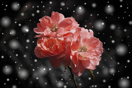 Ros Blomma Blommor Växt Fantasy Snö Vinter