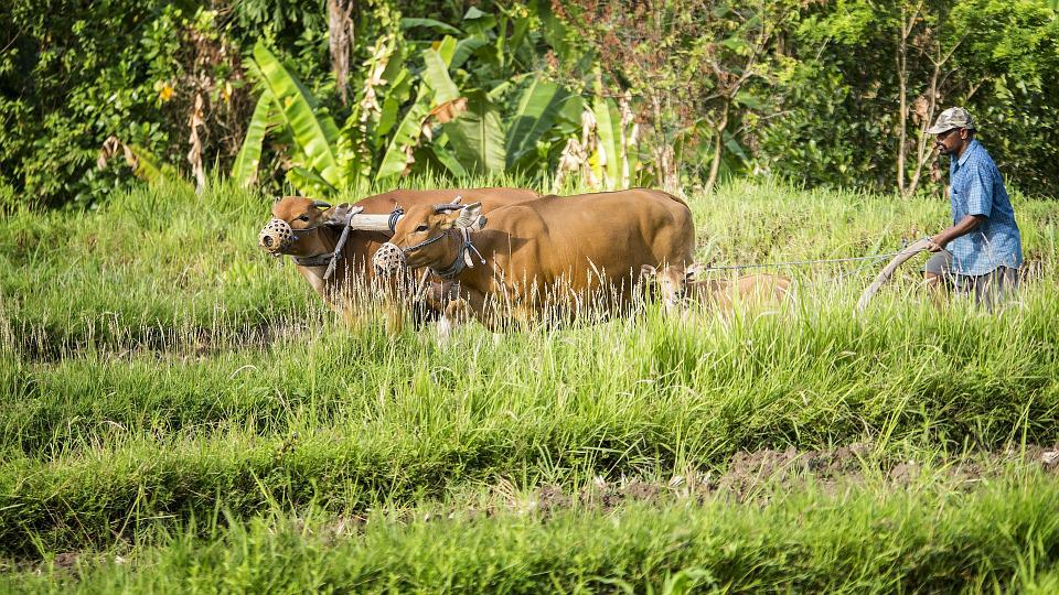 Bauer, Vaches, Indonésie, Bali, Sur Le Terrain