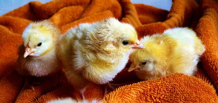 Chicks, Animal, Fluffy, Poultry