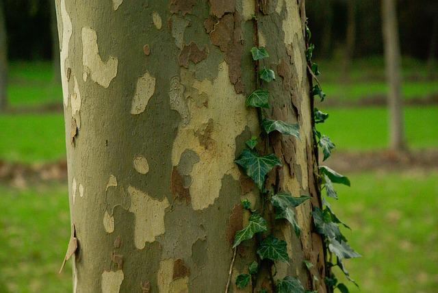 Plane Tree Bark Trunk 183 Free Photo On Pixabay