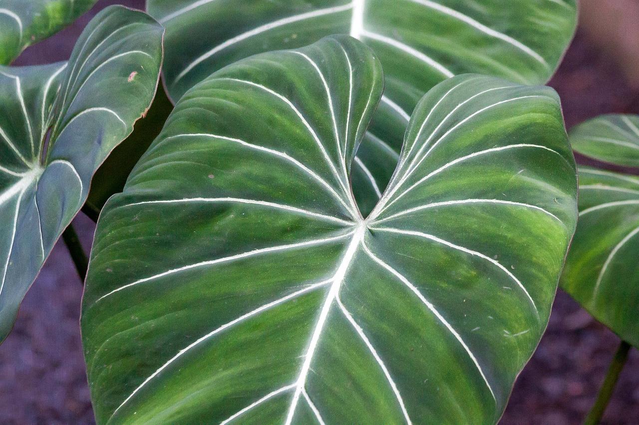Philodendron Gloriosum Leaves Bush - Free photo on Pixabay