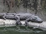 crocodiles, rest, sleepy