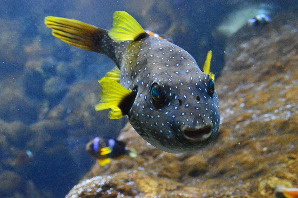 Puffer fish fins free photo on pixabay for Puffer fish aquarium