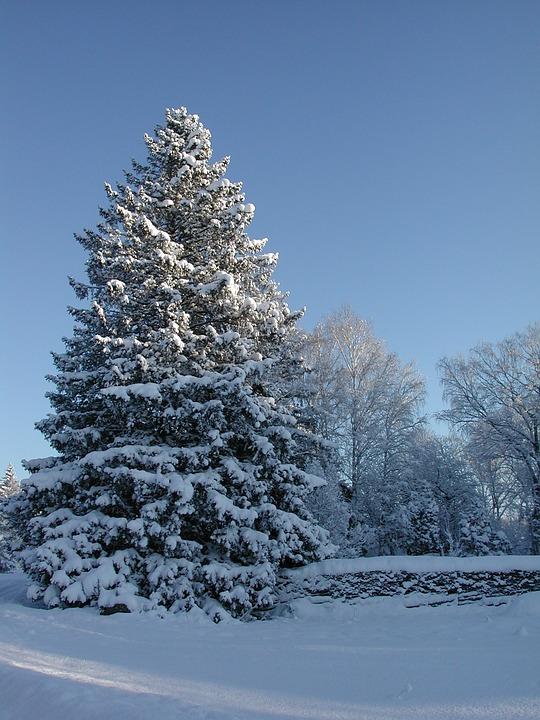 Kostenloses Foto Gran Fichte Snowy Fichte Winter