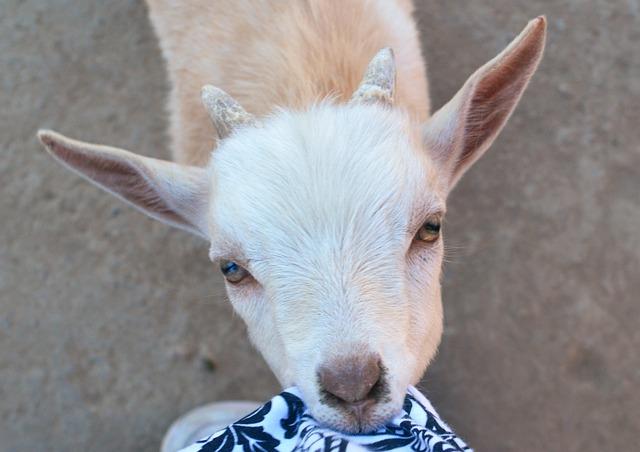 Goat Baby Eating 183 Free Photo On Pixabay