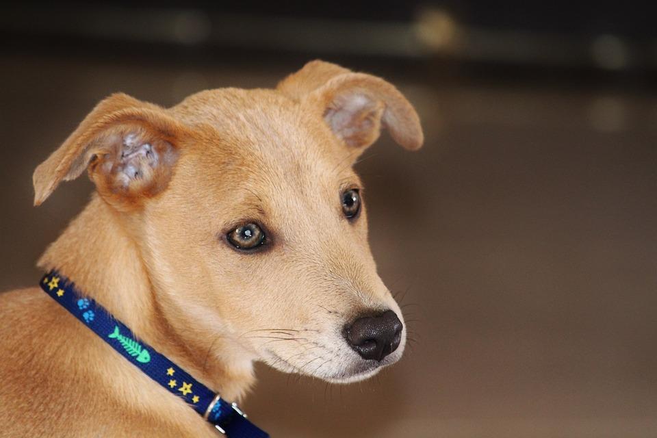 Amazing Puppy Brown Adorable Dog - dog-574308_960_720  Gallery_517745  .jpg