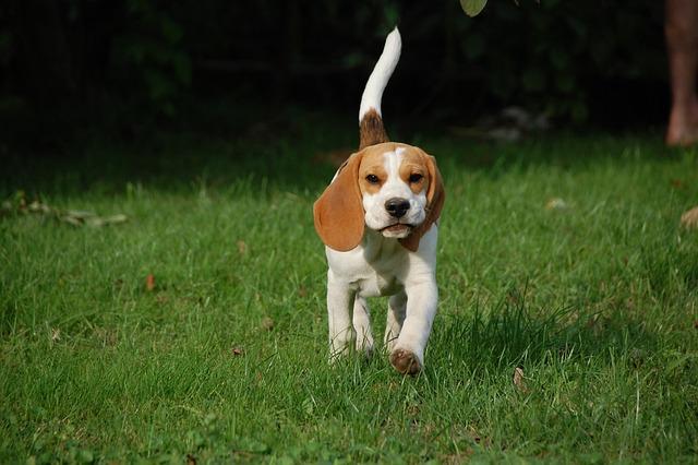 Dog Puppy Beagle · Free Photo On Pixabay