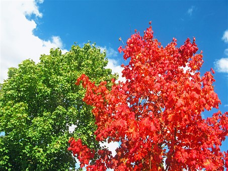 Maples, Red Tree, Two Trees